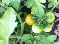 tomatoes050512